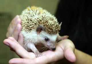 African-pygmy-hedgehog-320x225